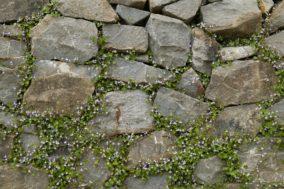 Gubermauer bepflanzt - Cymbelaria muralis